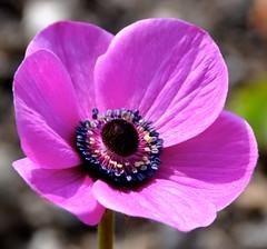 pink anemone (glennisb) Tags: pink flower up spring close purple anemone pollen anther