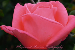 Rosy Rose (Muzammil (Moz)) Tags: flower macro rose redrose moz muzammilhussain