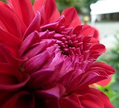 Flourish (Sunset~Beauty) Tags: pink dahlia flower macro germany lumix petals panasonic sooc dmczs7