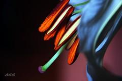 Estambres -#143-Sep. 1-2011 (-Ana Lía-) Tags: flowers naturaleza flores color blanco luz nature argentina explore lilium amistad mardelplata fotografía estambres aprehendiz