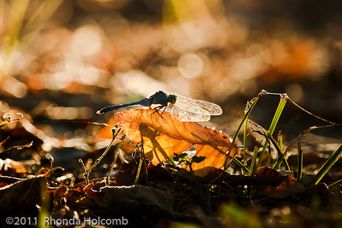 dragonfly in September Light