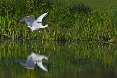 Spatule blanche - Platalea leucorodia - Eurasian Spoonbill -Lepelaar (tchikedou) Tags: bird nature wildlife oiseau lepelaar platalealeucorodia eurasianspoonbill oostmaarland spatuleblanche