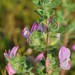 Common Restharrow Sandwich Bay