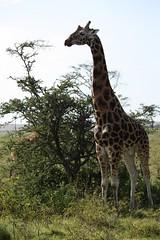 Giraffe (Sum_of_Marc) Tags: africa park wild lake animal animals nationalpark kenya safari national valley giraffe キリン kenia nakuru afrique eastafrica rift lakenakuru 长颈鹿 ケニア 肯尼亚 republicofkenya 肯尼亞