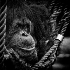 Really Deep Thought (chmeermann) Tags: portrait zoo nikon niceshot rope orangutan nikkor gelsenkirchen 70300 seil schwarzweis d80 zoomerlebniswelt portrat mygearandme mygearandmepremium