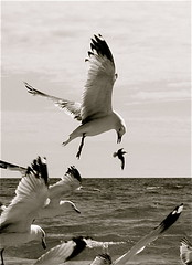 Misunderstanding سوتفاهم (Parisa Yazdanjoo) Tags: seabird hunters misunderstanding پرنده پرواز شکار pictonontariocanada مرغدریایی سوتفاهم