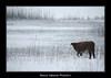 BVF191210-2826 (Bianca Valkenier Photography) Tags: winter bomen sneeuw nederland natuur bos rund winters landschap koe doorwerth kou koud gelderland sneeuwvlokken seizoen winterlandschap sfeervol wolfheze winterweer besneeuwd sneeuwoverlast grazenindesneeuw gelderlslandschap