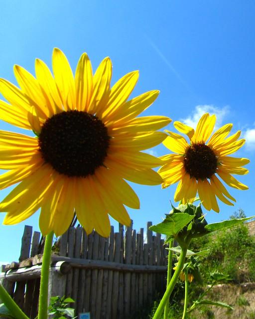 Nebraska, sunflowers