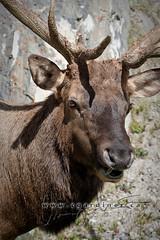 Elk in Banff  C Gardiner Photography 2011 (Chris Gardiner Photography) Tags: canada animal wildlife banff elk graze banffnationalpark horned