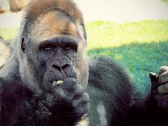 Human face, human eyes... (Be Clear) Tags: zoo monkey gorilla human kingkong umano scimmia panasonicfz38 highqualityanimals
