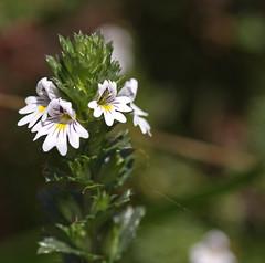 Nueva para mi (vte.) Tags: espaa alpina asturias scrophulariaceae pajares euphrasia euphrasiaalpinasubspalpina