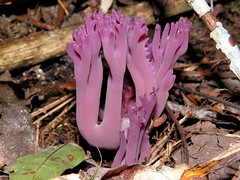 Violet Branched Coral-Falmouth (RonG58) Tags: pictures trip travel light summer plants usa plant macro nature mushroom forest botanical mushrooms photo woods day purple image photos maine picture olympus images fungi trail fungus funghi falmouth hongo pilz boletus champignons setas cep fungo kinoko bolets ramaria porcino ciuperci aestivalis lechampignon olympussp590uz derpilz violetbranchedcoral gilslandfarmauduboncenter rong58 masshurumu elchampin