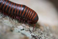 Tallulah Gorge (hynkle) Tags: park tallulah georgia state gorge millipede arthropod