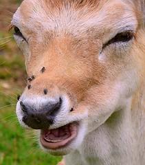 """Ten flies and counting""! .....Fallow Deer, Nose & Flies. (One more shot Rog) Tags: hairy nature wildlife deer spots fallowdeer herd fallow deers knolepark"