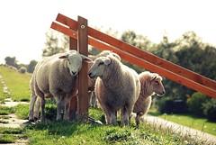 Schafe auf dem Deich (Jeltsje W. Juhl) Tags: green sheep gras dike embankment schafe schaf deich gelnder jumbuck
