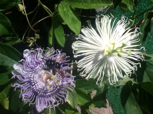 some of my passiflora - Page 2 6130117763_bc224491f0