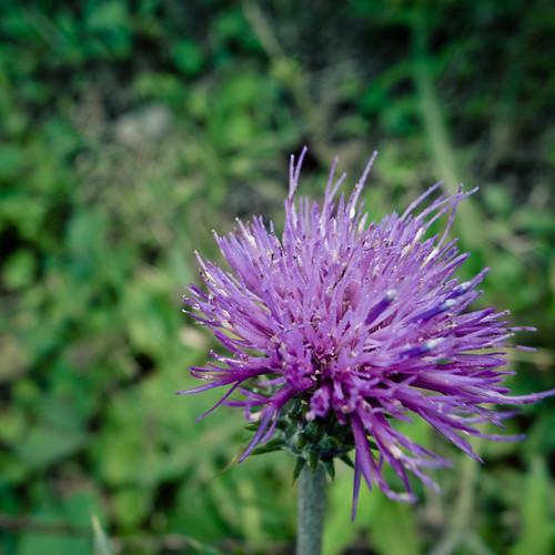 Purple Headed Spiked Flower