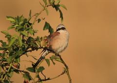 Lanius collurio-Red-backed Shrike (Aviantic) Tags: shrike redbacked