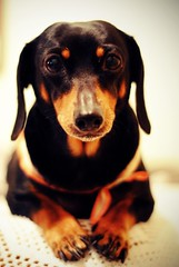 [Free Image] Animals, Mammalia, Dog, Dachshund, 201109171700