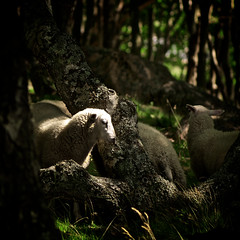 * (Johan Gustavsson) Tags: trees summer sun sol nature gteborg sheep sweden gothenburg natur sverige trd sommar fr styrs