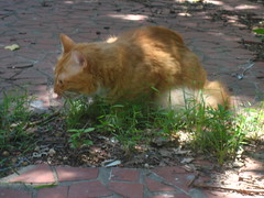 20110822 - Oranjello - eating grass - IMG_3455 (Rev. Xanatos Satanicos Bombasticos (ClintJCL)) Tags: alexandria grass animal yard cat virginia eating frontyard 2011 eatinggrass clintandcarolynshouse oranjello catnipaddicts 201108 20110822