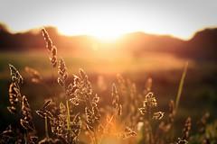 Sommerabend (lmxh) Tags: summer sky sun plant nature germany landscape deutschland gold golden licht sonnenuntergang dof sundown bokeh sommer natur feld himmel gras sonne vignette sommerabend stimmung gegenlicht abendsonne abendstimmung abendlicht