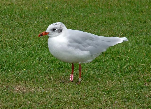 25036 - Mediterranean Gull (YHE8), Bracelet Bay