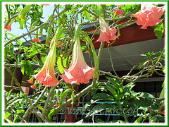 Brugmansia suaveolens (Angel's Trumpet) - a hybrid with coral pink flowers, maybe 'Rhapsody'