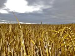 Field of gold (Tash Scott) Tags: field corn wow1 wow2 wow3 wow4 friendlychallenges diamondsawards storybookwinner mygearandme mygearandmepremium storybookttwwinner dblringexcellence tplringexcellence ringexcellance