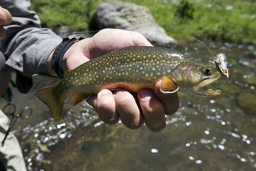 Mountain Brook Trout