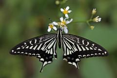 新治市民の森のアゲハチョウ(Butterfly, Niiharu Community Woods)