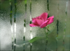 """100% humidity"" (skcase) Tags: flower window nature rose blurry dew windowpane morningdew"