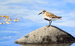 Lurll (Calidris alpina) (orgils Sig.) Tags: creativemoment naturesprime