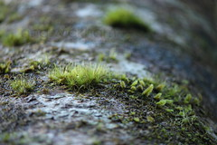 unknown moss / Taraire. Beilschmiedia tarairi. (nznatives) Tags: winter moss bark nz trunk upshot nznative northlandnz puketiforest taraire waihoanga beilschmiediatarairi
