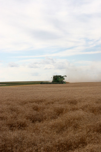 There is lodged or downed wheat that makes the harvesting process harder