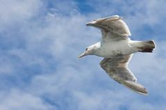 8-2-11 (mkrumm1023) Tags: seattle seagulls birds