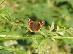 Red Admiral Butterfly (Alex Staniforth: Wildlife/Nature Photography) Tags: summer alex photography cheshire photos outdoor wildlife group pic casio staniforth stani exfh20