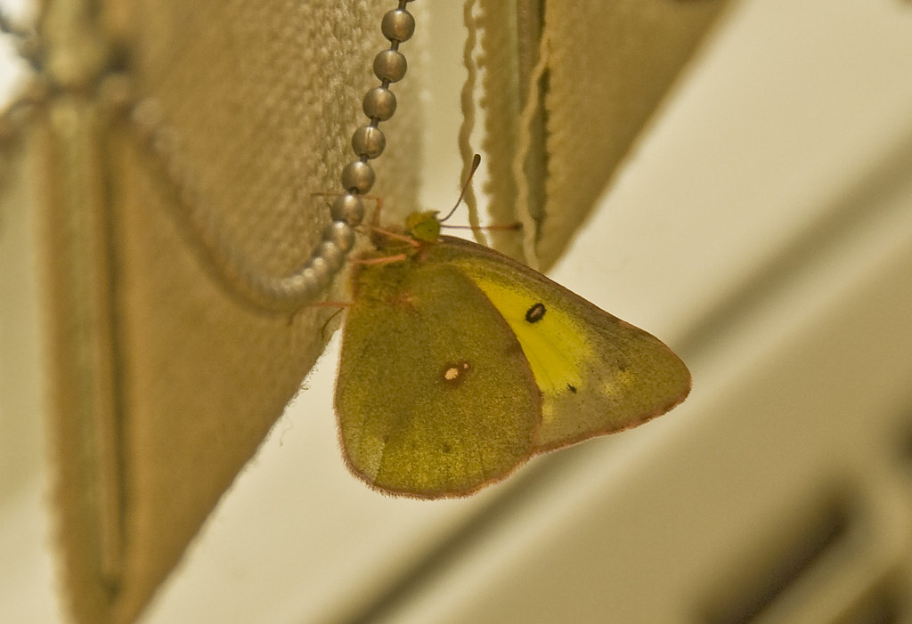 Little Clouded Sulphur Stops by for Tea