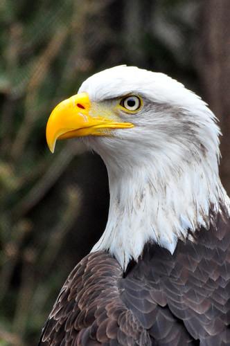 DN_01_Bald Eagle2