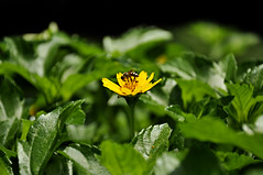 bee on yellow flower (e.nhan) Tags: life light flower green art yellow closeup leaf dof bokeh bee backlighting enhan