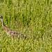 Sandhill Crane-6281
