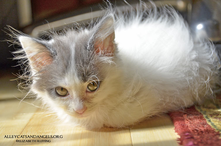 Siren by Elizabeth Ruffing, adoptable kitten, Alley Cats and Angels of NC rescue