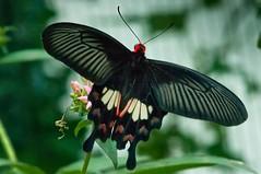 Common Rose butterfly (d_smets) Tags: france nature butterfly natuur papillon alsace frankrijk mariposa vlinder commonrose elzas hunawihr vlindertuin sigma105mm jardindespapillons atrophaneuraaristolochiae pentaxk7