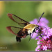 "1478   Coffee Bee Hawk-moth (male)   -  ""Explored"""