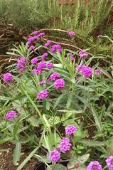 Verbena rigida, with purple blooms