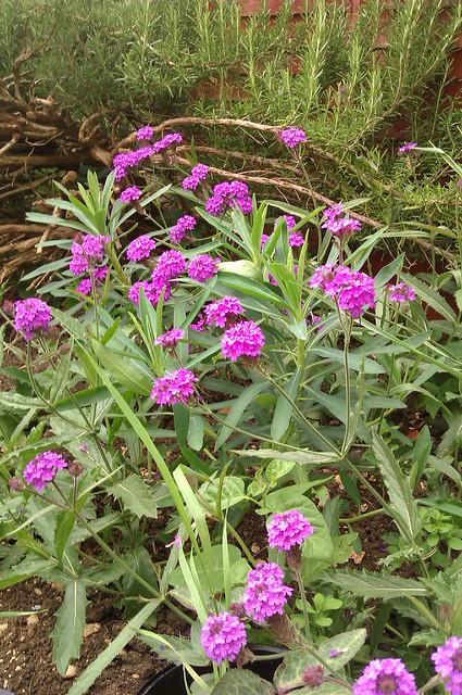 Clusters of magenta / purple flowers