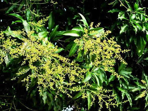 IMG_2013 Mango flowers,芒果花开