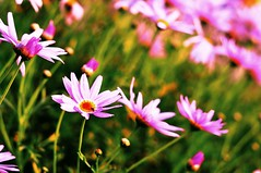 My Nanna's Daisies (Explore 16 August 2011) (Indigo Skies Photography) Tags: flowers flower color colour home beautiful daisies garden petals stem bush australia victoria petal daisy colourful lovely nikkor50mmf18 hdr scent echuca nikond90 raychristy
