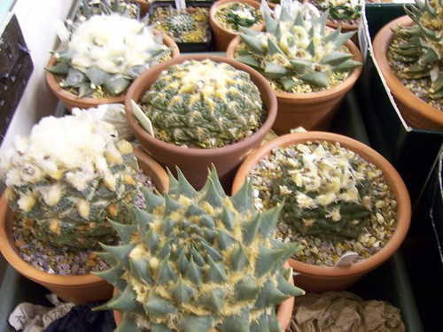 BCSS BB August - Ariocarpus Talk - Costas's Plants