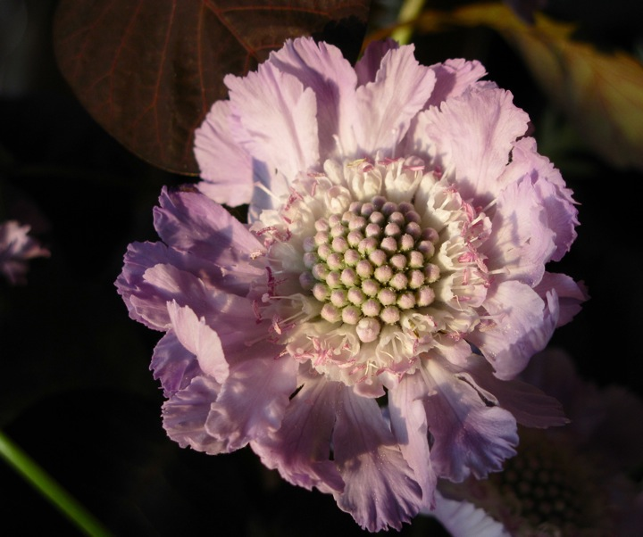 purple scabiosa flowers 003